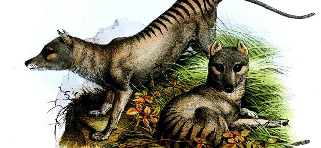 V Austrálii natočili vyhynulého tasmánského tygra
