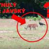 Vyhynulý TYGR JÁVSKÝ ŽIJE? Vyfotografovali ho v Ujung Kulon