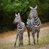 V Zoo Praha jsou poprvé v historii vzácné zebry bezhřívé