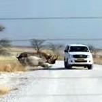 Nosorožec zaútočil na osobní vůz