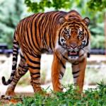 Skrytá kamera: Neviditelný tygr