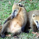 Pět malých nosálů se stalo miláčky návštěvníků v zoo v Táboře