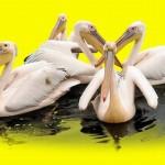 ZOO Zlín přiveze z Indie další pelikány