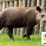ZOO Praha: dnes má narozeniny tapír Toby