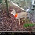Po Wisconsinu běhá srnka s oranžovou šálou kolem krku