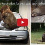 300kilový lachtan poskakoval po autě v Tasmánii