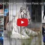 Tygr utekl z cirkusu v Itálii