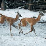 Voduška abok, lama guanako… V ZOO Praha se už narodilo 24 mláďat