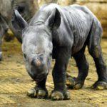 NOSOROŽČÍ HOLČIČKA: narodila se v zoo ve Dvoře Králové