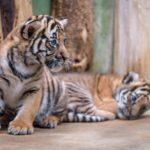 Tip na dnešek: KŘTINY KOŤAT TYGRA MALAJSKÉHO v Zoo Praha