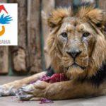 SEX 30x DENNĚ: lví Valentýn v Zoo Praha