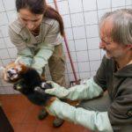 Zoo Praha: záhada pohlaví pandy červené vyřešena
